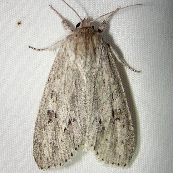 9200 American Dagger Moth Mahogany Hammock Everglades 2-27-12