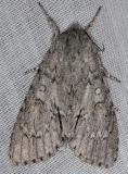 9203 Fingered Dagger Moth Thunder Lake Mich UP 6-24-13