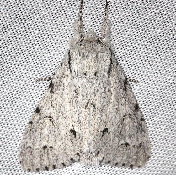9205 Cottonwood Dagger Moth yard 8-12-13
