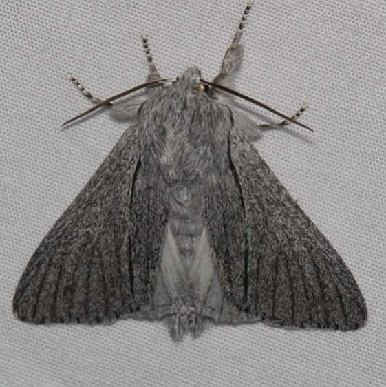 9205.1 Acronicta cyanescens Mueller St Pk Colorado 6-18-17 (22)_opt