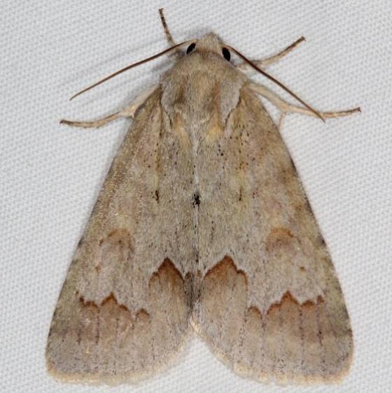 9208 Birch Dagger Moth General Butler St Pk Ky 4-19-17_opt