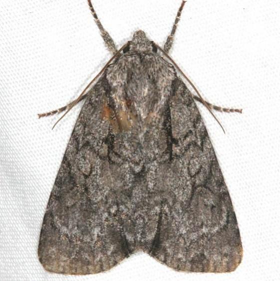 9209 Radcliffe's Dagger Moth Copperhead firetower Shawnee St Pk 8-6-16