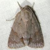 9211 Triton Dagger Moth Gold Head Branch State Park 2-15-12