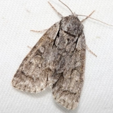 9212 Gray Dagger Moth Thunder Lake Mich 6-23-12