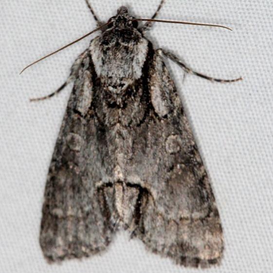 9214 Acronicta falcula Mesa Verde National Pk Colorado 6-9-17 (34)_opt