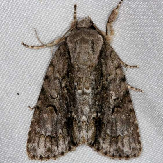 9219 Connected Dagger Moth Rodman Campground Fl 3-20-14