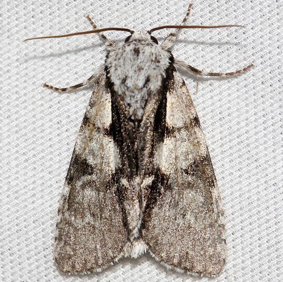 9221 Funerary Dagger Moth Thunder Lake UP Mich 6-26-12