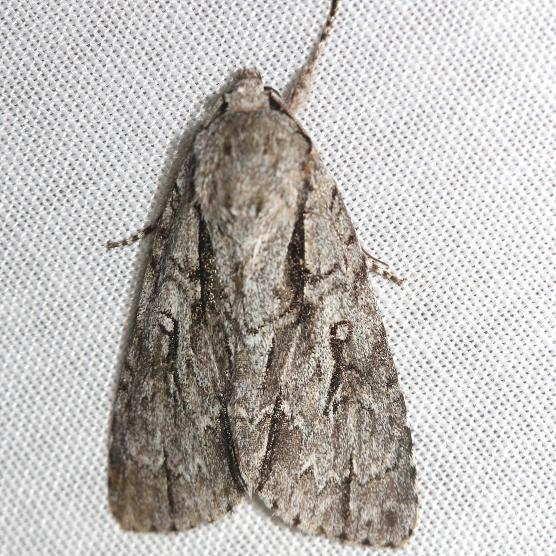 9227 Pleasant Dagger Moth Thunder Lake Mich 6-23-12