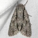 9229 Speared Dagger Moth yard 5-5-13