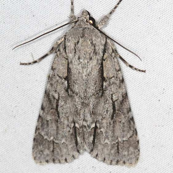 9229 Speared Dagger Moth yard remove old 8-24-17 (3)_opt