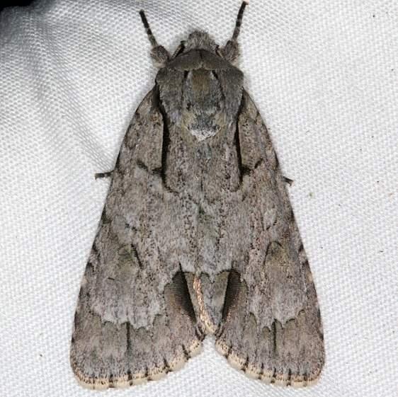 9237 Interrupted Dagger Moth yard 7-15-15