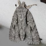 9238 Greater Oak Dagger Moth yard 5-20-12