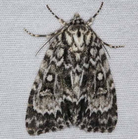 9241 Fragile Dagger Moth Thunder Lake UP Mich 6-19-15