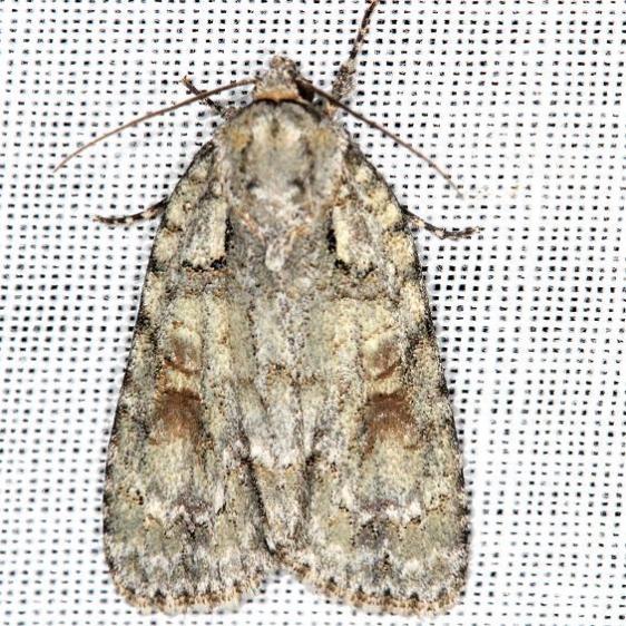9243 Ovate Dagger Moth yard 5-30-13