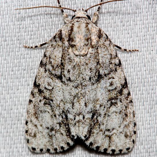 9245 Hesitant Dagger Moth Alexander Springs Ocala Natl Forest 3-19-13
