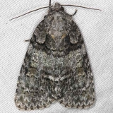9247 Acronicta tristis Thunder Lake Up Mich 6-22-14