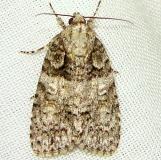 9249 Small Oak Dagger Moth Jenny Wiley Ky 4-26-12