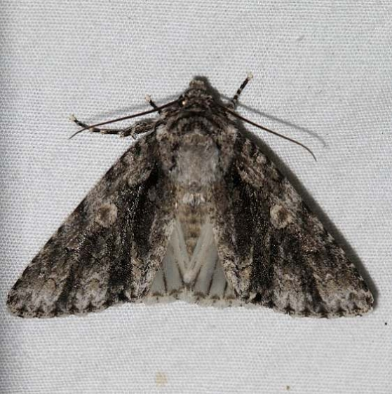 9255 Charred Dagger Moth Mesa Verde Colorado 6-11-17 (13)_opt