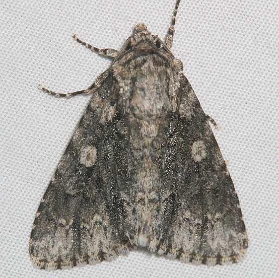 9255 Charred Dagger Moth Mesa Verde Colorado 6-11-17 (16)_opt
