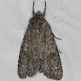 9257 Yellow-haired Dagger Moth yard 5-27-14