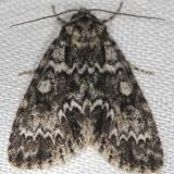 9259 Night-wandering Dagger Moth Thunder Lake Mich 6-21-13