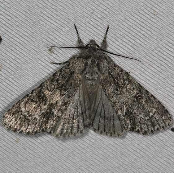 9261 Impressed Dagger Moth yard 5-10-15