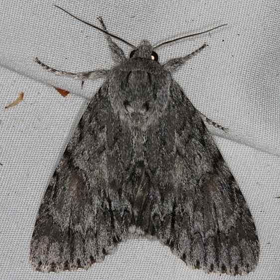 9264 Long-winged Dagger Moth Acronicta longa Rodman Campground Fl 3-21-14