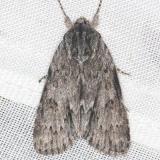 9264 Long-winged Dagger Moth yard 8-7-13