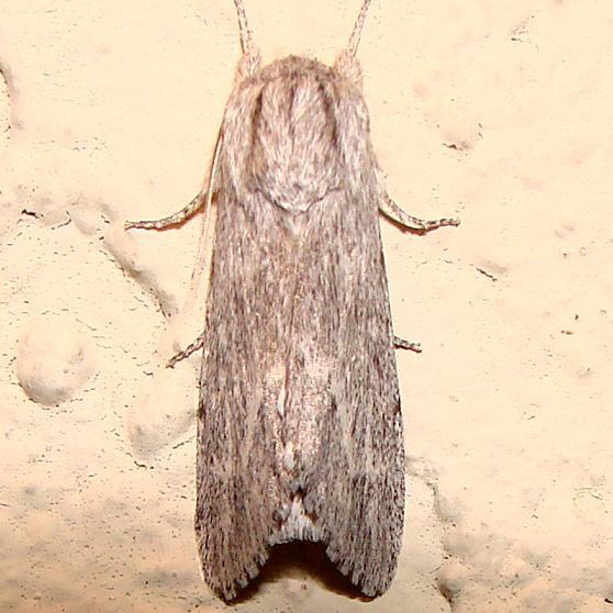 9266 Streaked Dagger Moth Juniper Springs Ocala Natl Forest Fl 3-14-12