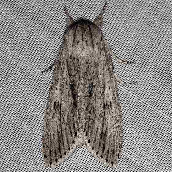 9272 Smeared Dagger Moth Rodman campground Fl 3-18-14