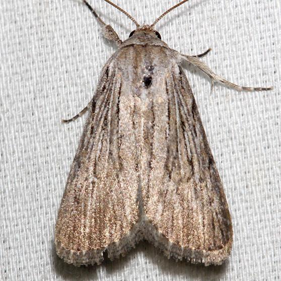 9272 Smeared Dagger Moth Schivley Fen Logan Co Oh 6-12-12