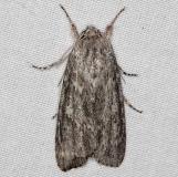 9272 Smeared Dagger Moth yard 7-22-14 (9)_opt