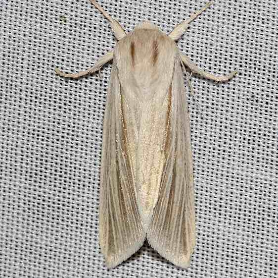 9280 Henry's Marsh Moth yard 5-2-12_opt