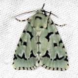 9281 Green Marvel Moth Carter Cave St Pk Ky 4-23-13