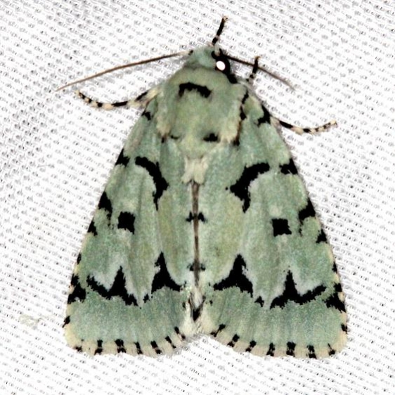 9281 Green Marvel Moth Carter Cave St Pk Ky 4-23-13