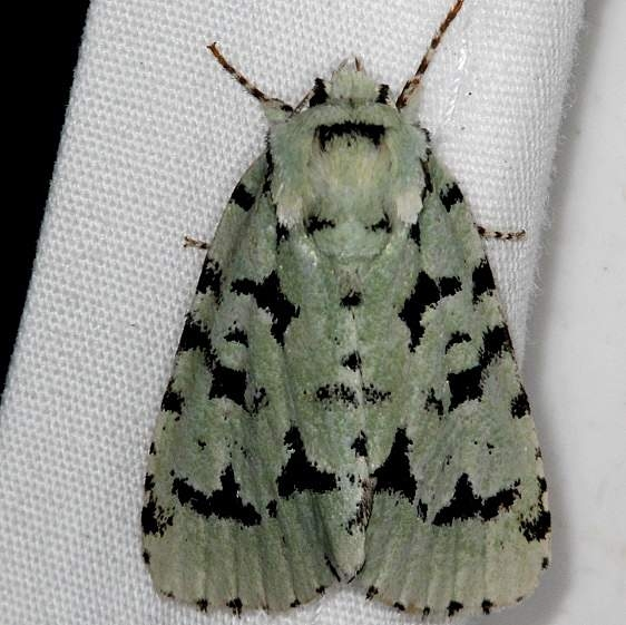 9281 Green Marvel Moth yard 5-28-15 (5)_opt