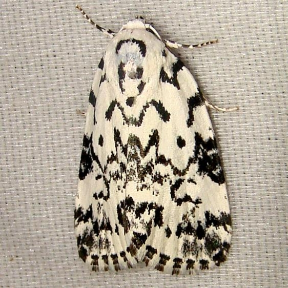 9285 The Hebrew Moth Jenny Wiley St Pk KY 4-25-12