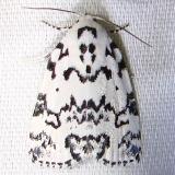 9285 The Hebrew Moth Paynes Prairie St Pk Fl 3-20-12