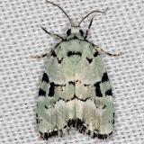 9297.2 Elaphira cyannympha Rodman Campground Fl 3-20-14