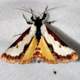9299 Pearly Wood-nymph Moth Hidden Lake Everglades Natl Pk 3-9-13