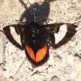 9309 Grapevine Epimenis Moth Ancient Trail Battelle Metro Oh 4-21-13