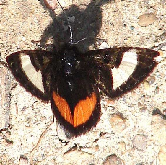 9309 Grapevine Epimenis Moth Ancient Trail Battelle Metro Oh 4-21-13