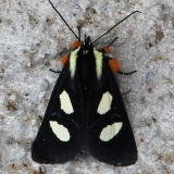 9314 Eight-spotted Forester Moth Sunoco Gas Stat Clearcreek Hocking Co Oh 6-12-14