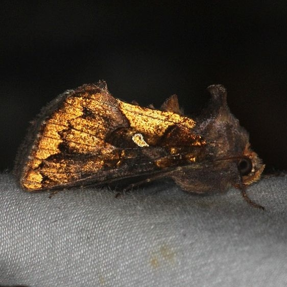 8885 Golden Looper Moth Little Manetee River St Pk Fl 3-8-15