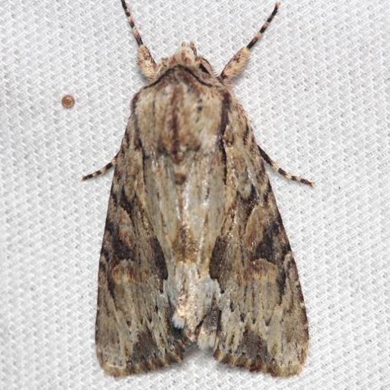 9333 Wood-colored Apamea Moth Lake Kissimmee St Pk Fl 2-26-13