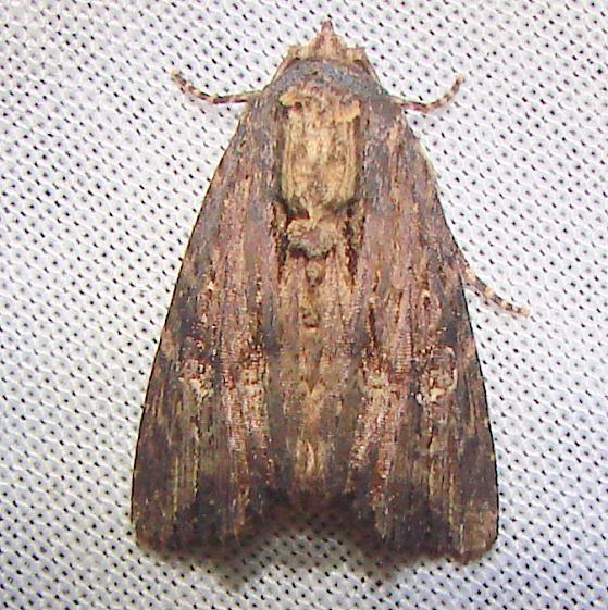 9333 Wood-colored Apamea Moth Nike missle Road junction research Rd 2-28-12
