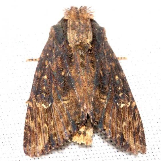 9341 Airy Apamea Moth maybe Mahogany Hammock Everglades Natl Pk 3-10-13