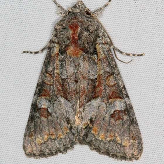 9346 Western Apamea Moth Mesa Verde Natl Pk Colorado 6-10-17 (26)_opt
