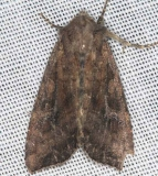 9348 Yellow-headed Cutworm Moth Lake of the Woods Ontario 7-21-16 (69)_opt