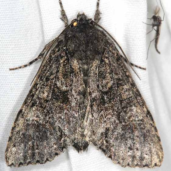 9362.2 Small Clouded Brindle Moth Lake of the Woods Ontario 7-18-16_opt